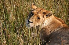 Lone Lioness Stock Photography