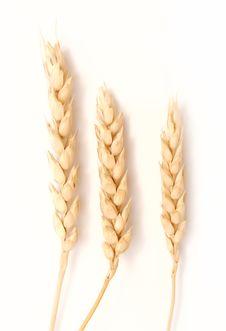 Free Wheatgrass Stock Image - 15895131