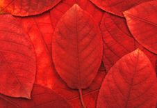 Free Red Leaves Stock Photos - 15895393