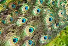 Free Peacock Stock Image - 15896021
