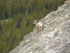 Free Bighorn Sheep Royalty Free Stock Images - 15896119