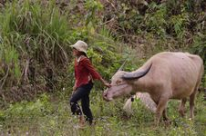 Free Little Girl Thay And His Buffalo Stock Photos - 15896943