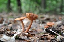 Free Brown Mushroom Pair With Visible Gills Stock Photos - 15897633