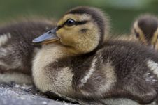 Baby Mallard Ducks Stock Photography