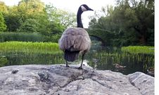 Free Canadian Geese On Rock Stock Images - 15897674