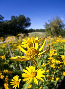 Free Field Of Yellow Daisies Royalty Free Stock Images - 15897749