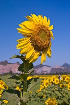 Free Sunflower Stock Photo - 15898140