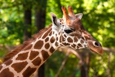Free Giraffe Portrait Royalty Free Stock Photos - 15898918
