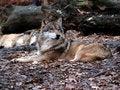 Free European Wolf - Canis Lupus Lupus Royalty Free Stock Photos - 1592598