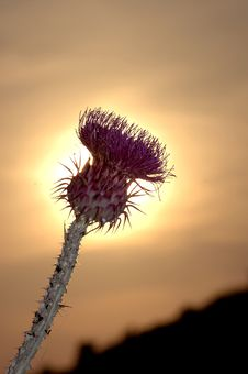 Wild Thistle In The Sunset Royalty Free Stock Photos