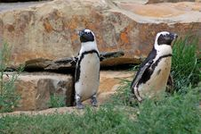 Free Penguins At The Berlin Zoo Stock Photography - 1592102