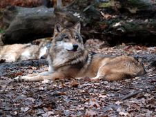 Free European Wolf - Canis Lupus Lupus Royalty Free Stock Photos - 1592598