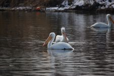 Free Pelicans 3 Royalty Free Stock Image - 1592646