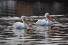 Free Pelicans 5 Royalty Free Stock Photo - 1592655