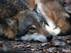 Free European Wolf - Canis Lupus Lupus Stock Photos - 1592673