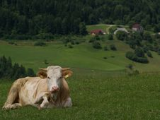 Free Resting Cow Royalty Free Stock Photography - 1593007