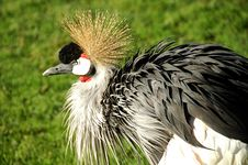 Free African Crowned Crane Royalty Free Stock Photography - 1593717