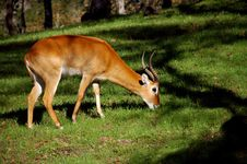 Free African Gazelle Stock Photos - 1593723