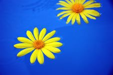 Free Floating Yellow Dandelions Stock Image - 1593851