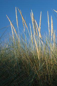Verticle Marram Grass Stock Photo