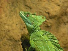 Free Green Basilisk Stock Photo - 1595420