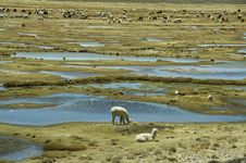 Alpacas Pastoral Stock Images