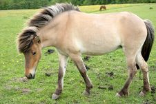 Free Danish Horses Royalty Free Stock Image - 1595906