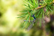 Free Dragonfly On The Needles Royalty Free Stock Images - 1596069