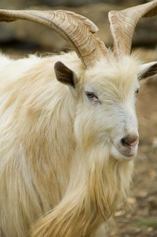 Free Goat Stock Images - 1596254