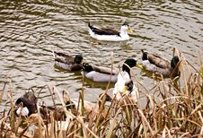 Free Flock Of Ducks Stock Photo - 1597700