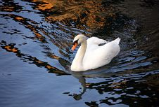Free Swan 1 Royalty Free Stock Photo - 1597755