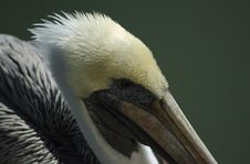 Free Pelican Closeup Royalty Free Stock Images - 1597989