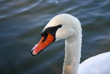 Free White Swan Stock Images - 1599814