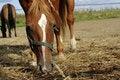Free Horses And Hay Royalty Free Stock Photos - 15902038