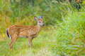 Free Young Deer Bamby Roe Royalty Free Stock Images - 15903719