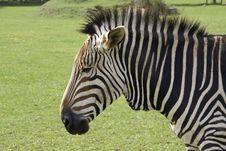 Sad Faced Zebra Stock Image