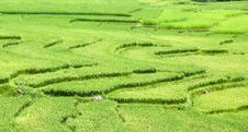 Free Rice Fields In Vietnam Stock Photos - 15901083