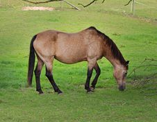 Free Dun Horse Grazing In A Meadow Stock Photo - 15901510