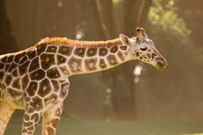 Free Giraffe Royalty Free Stock Photography - 15902137