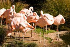 Free Pink Flamingos Stock Image - 15902151