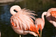 Free Flamingo Royalty Free Stock Photos - 15902168
