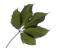 Free Vine Leaf Stock Image - 15902391