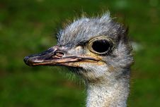 Free Ostrich Stock Images - 15902424