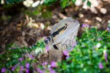 Free Colorful Lizard Stock Photography - 15902432