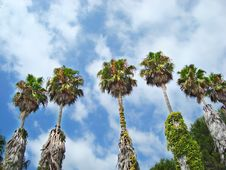 Free Palm Trees Stock Images - 15902554