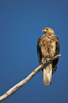Whistling Kite Stock Photography