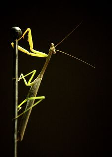 Free Praying Mantis Royalty Free Stock Photos - 15905008