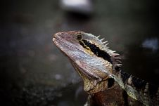 Free Colorful Lizard Stock Photos - 15905643