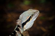 Free Colorful Lizard Stock Photo - 15905650