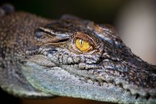 Free Eye Of Alligator Royalty Free Stock Photo - 15905675